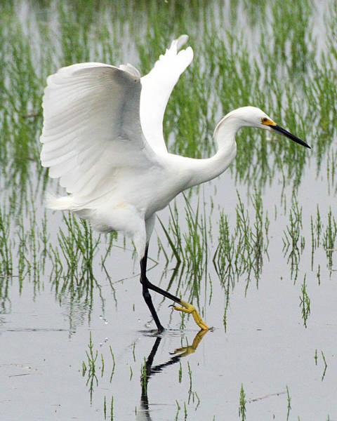 Snowy Egret Poster