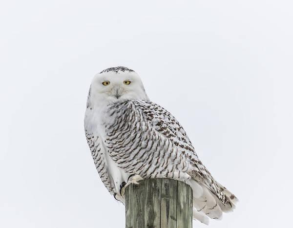 Snowy Owl 2014 1 Poster