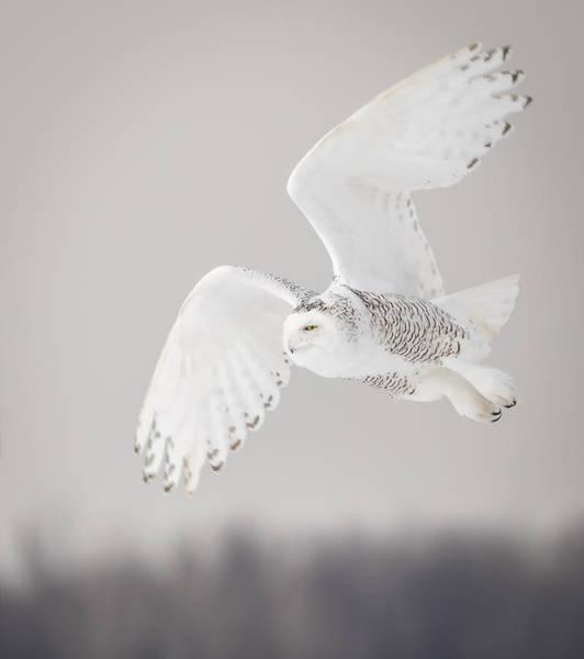 Snowy Owl In Flight 4 Poster