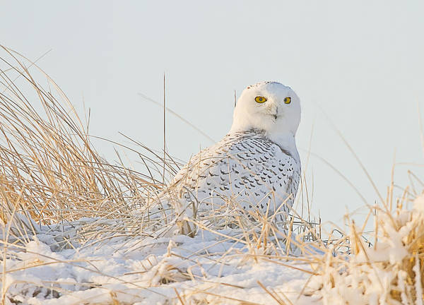 Snowy Owl In The Snow Covered Dunes Poster