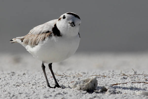 Snowy Plover Poster