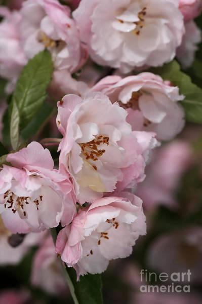 Soft Blossom Poster