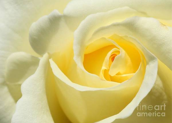 Soft Yellow Rose Poster
