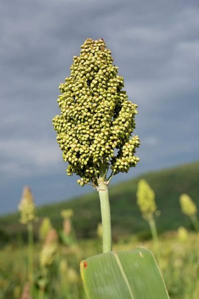 Sorghum Plant Seedhead Poster