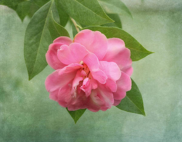 Southern Camellia Flower Poster