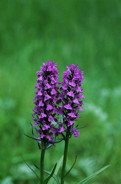 Southern Marsh Orchids Poster