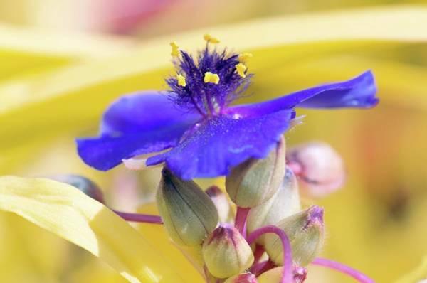 Spiderwort (tradescantia Andersoniana) Poster