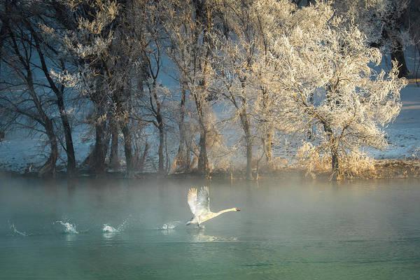Spirit Of A Swan Poster