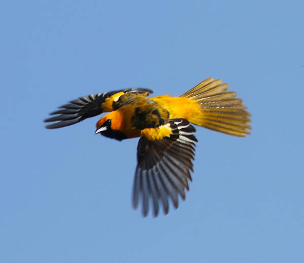 Spot Breasted Oriole In Flight Poster