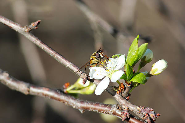 Spring Bee On Apple Tree Blossom Poster