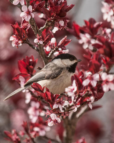 Spring Blossom Chickadee Poster