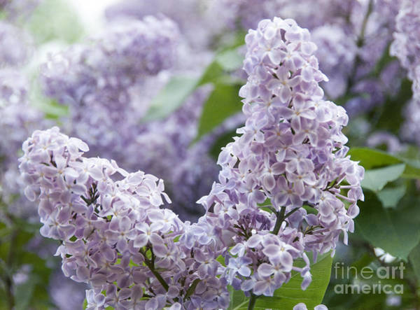 Spring Lilacs In Bloom Poster