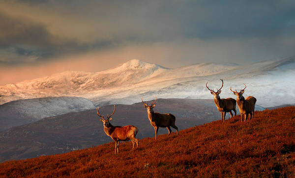 Stags At Strathglass Poster