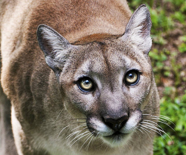 Poster featuring the photograph Stalking Cougar by Donna Proctor