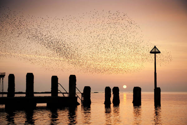 Starlings At Sunset  Aberystwyth Poster
