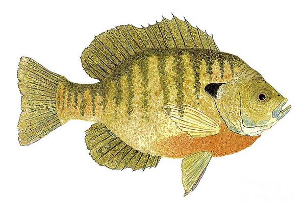 Study Of A Bluegill Sunfish Poster