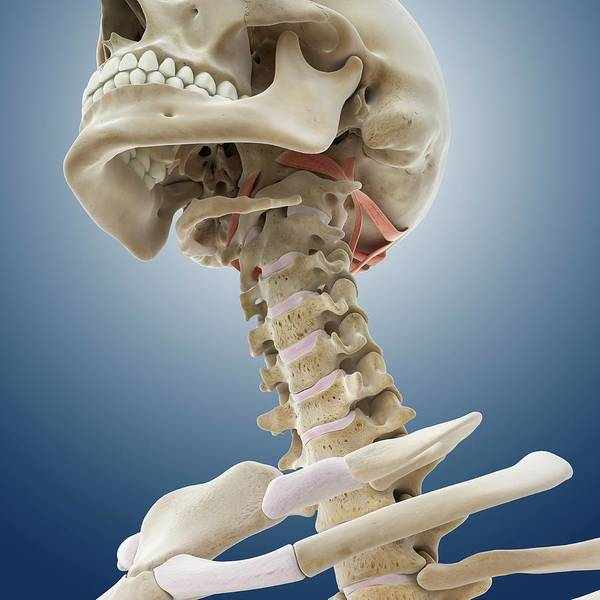 Suboccipital Muscles Poster