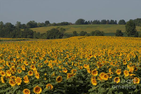 Sun Flower Sea Poster