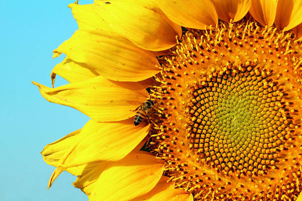Sunflower With Bee - Photo Poster