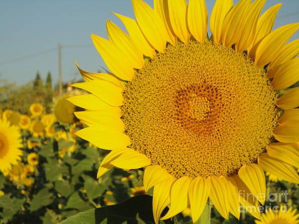 Sunflowers In Arezzo Poster