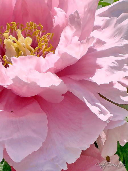 Sunkissed Peonies 1 Poster