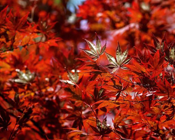 Sunlit Japanese Maple Poster
