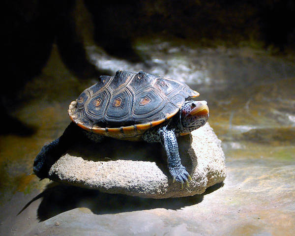 Poster featuring the photograph Sunning Terrapin by Donna Proctor