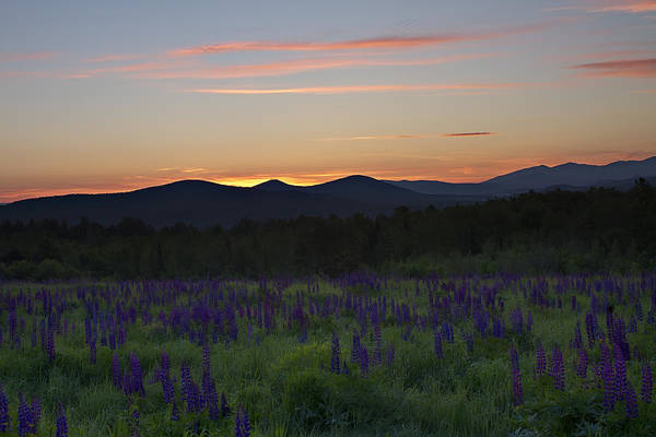 Sunrise Over A Field Of Lupines Poster