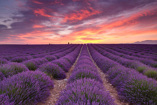 Sunrise Over Lavender Poster