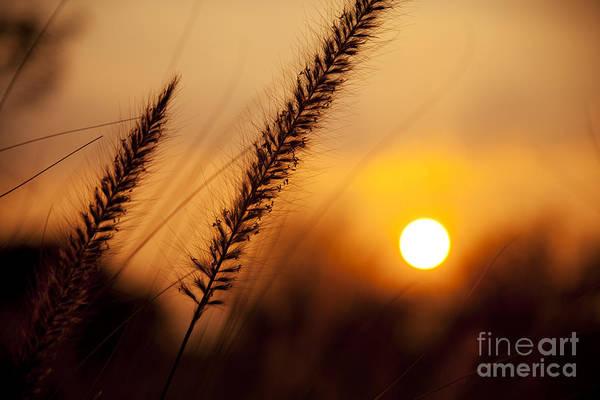 Sunset Fountain Grass Poster