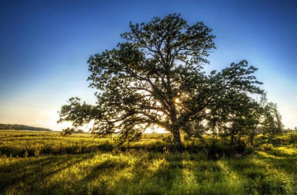 Sunset Oak Poster