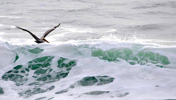Surf N Pelican Poster
