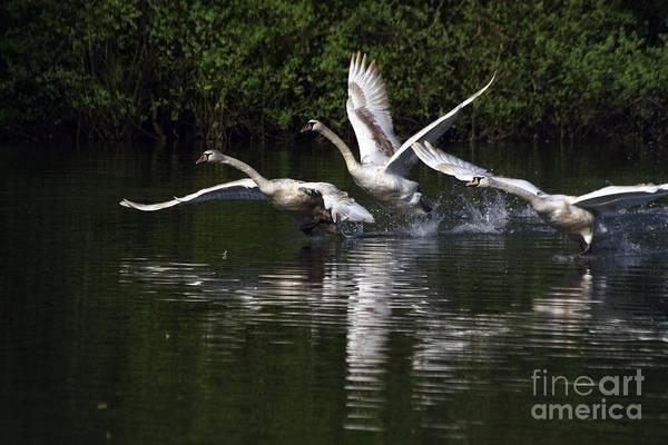 Swan Take-off Poster
