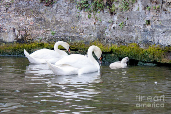 Swans And Cygnets In Brugge Canal Belgium Poster