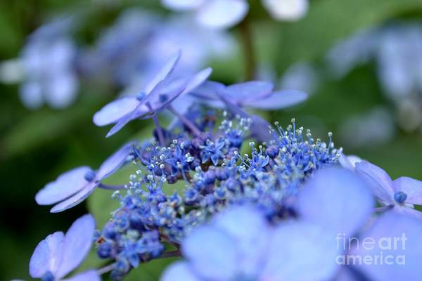 Poster featuring the photograph Taube Lacecap Hydrangea by Scott Lyons