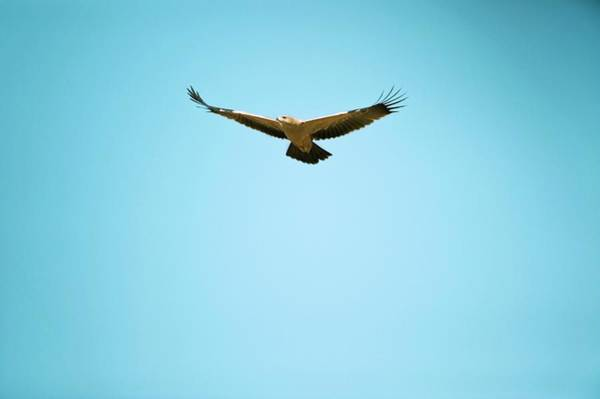 Tawny Eagle In Flight Poster