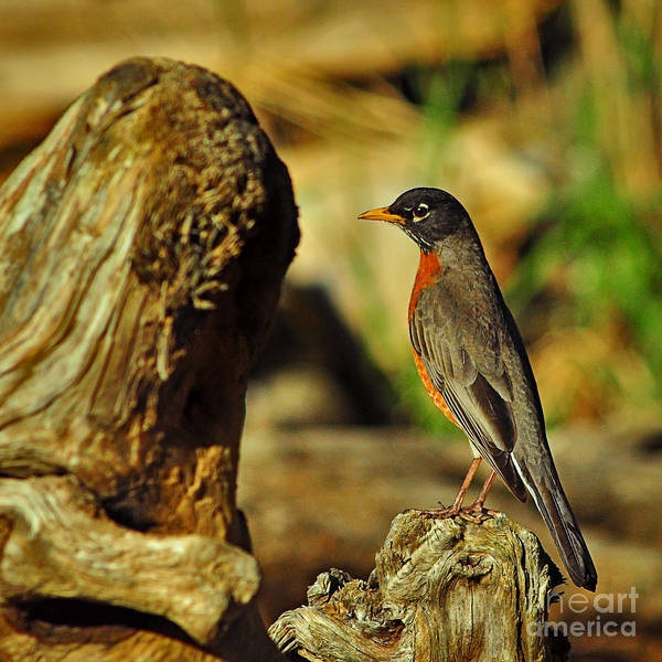 The American Robin Poster