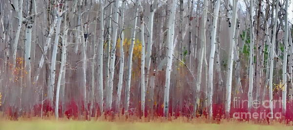 The Birches Panorama  Poster