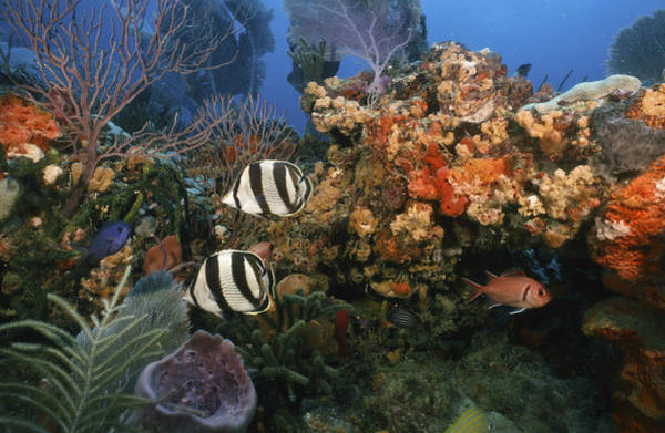 The Butterflyfish On Reef Poster