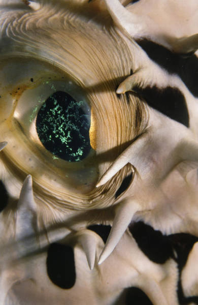 The Eye Of A Pufferfish Poster