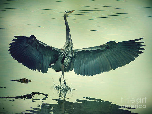 The Great Blue Heron Landing Poster
