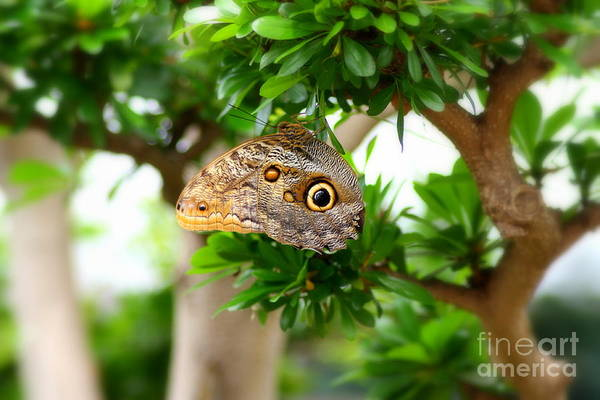 The Owl Butterfly Poster