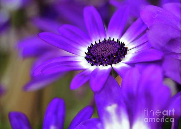 The Purple Daisy Poster