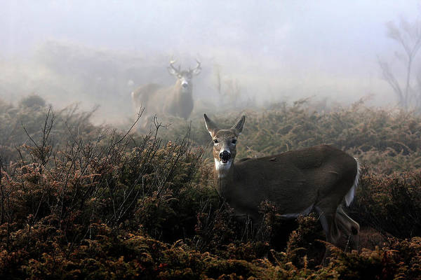The Rut In On - White-tailed Deer Poster