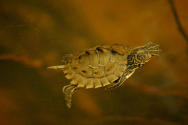 The Southeastern Map Turtle Poster
