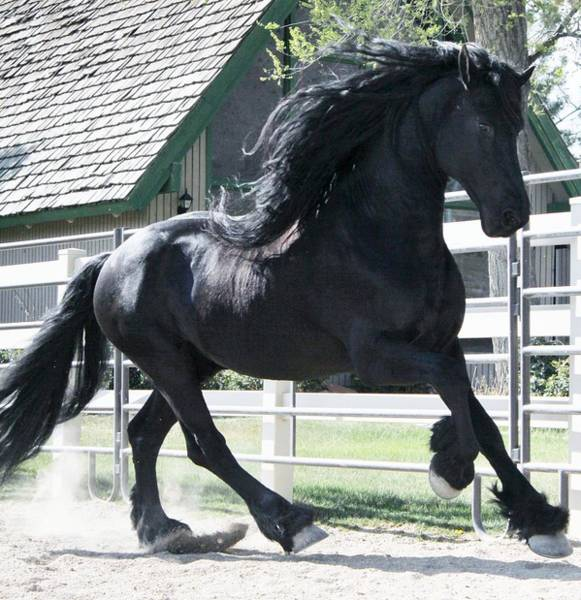 The Spirit Of The Friesian Poster