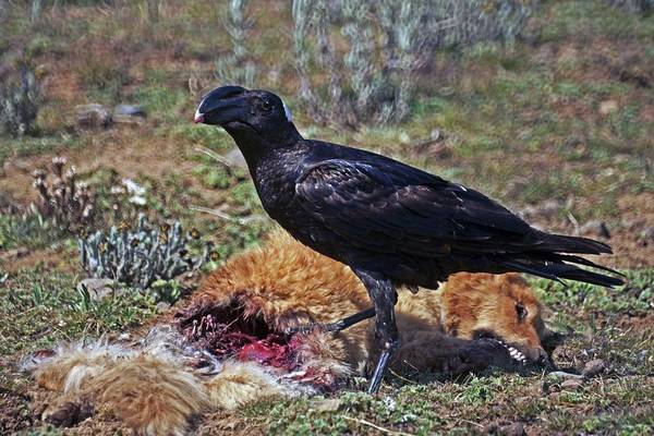Thick-billed Raven Poster