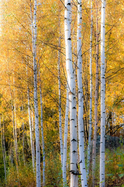 Thin Birches Poster