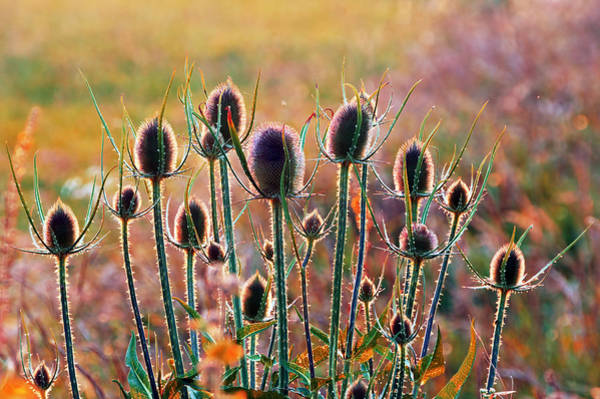 Thistles With Sunset Light Poster