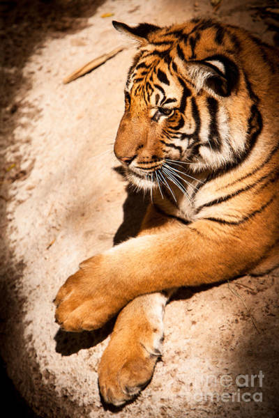Poster featuring the photograph Tiger Resting by John Wadleigh